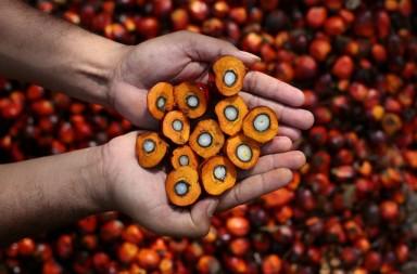 palm oil rainforest